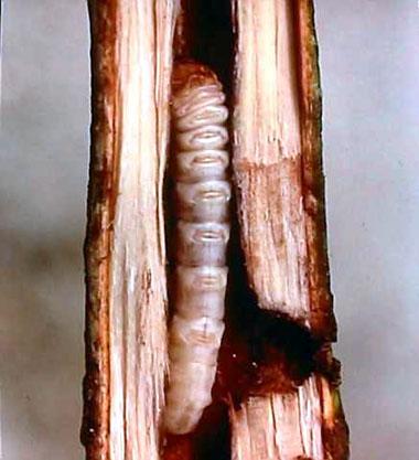 痛んだ樹皮を取り除いた後に薬液処理を施しカルスメイトで表面を保護及び蓋をしましたそのあと幹がボコボコで穴だらけですので自力で立っている事ができないので