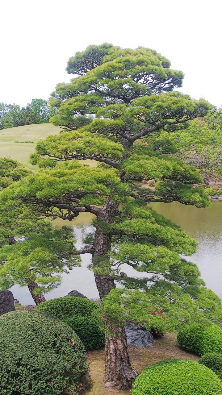 万博日本庭園・松の緑摘み | 安...
